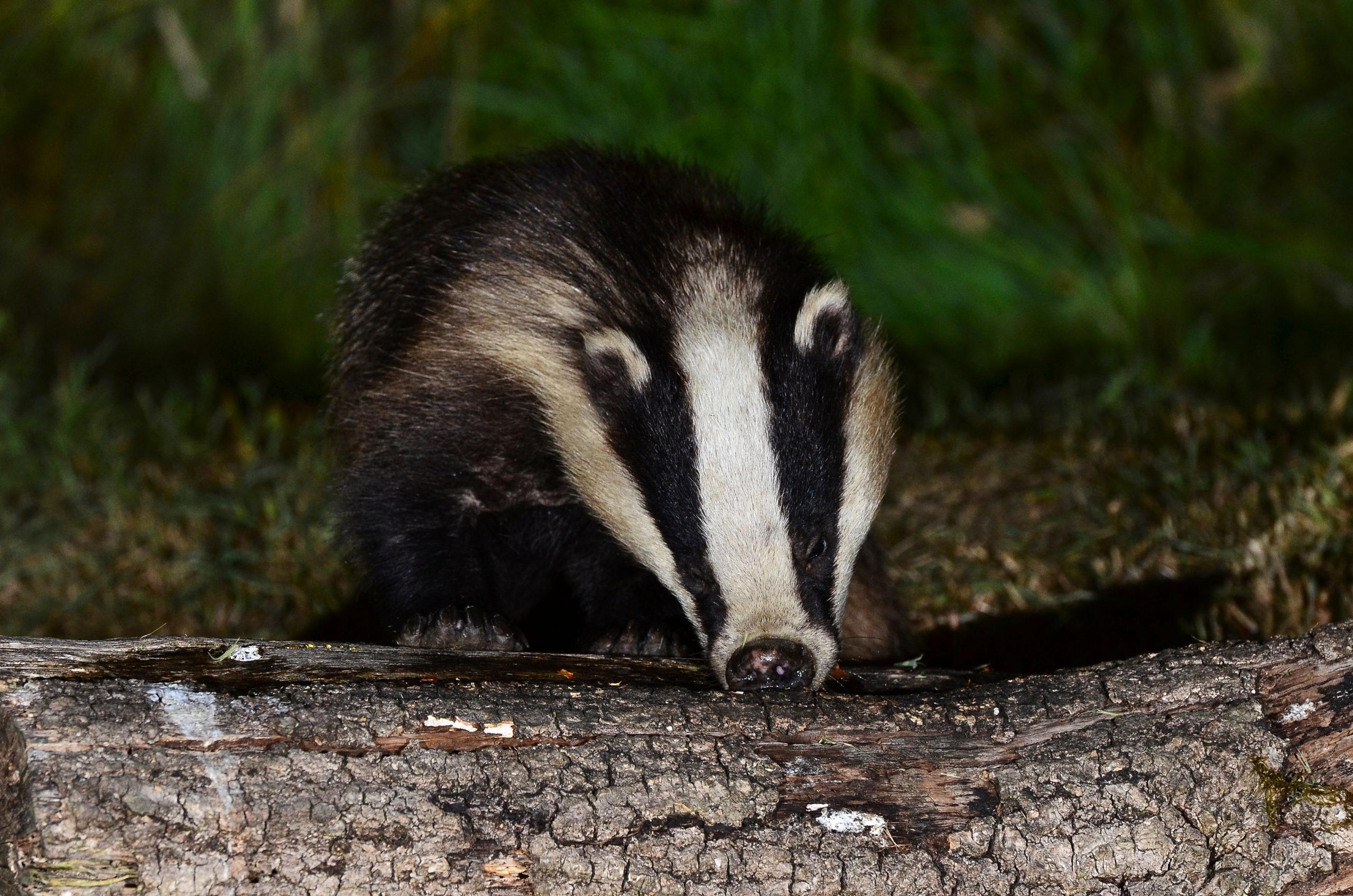 Badger - Bovine TB