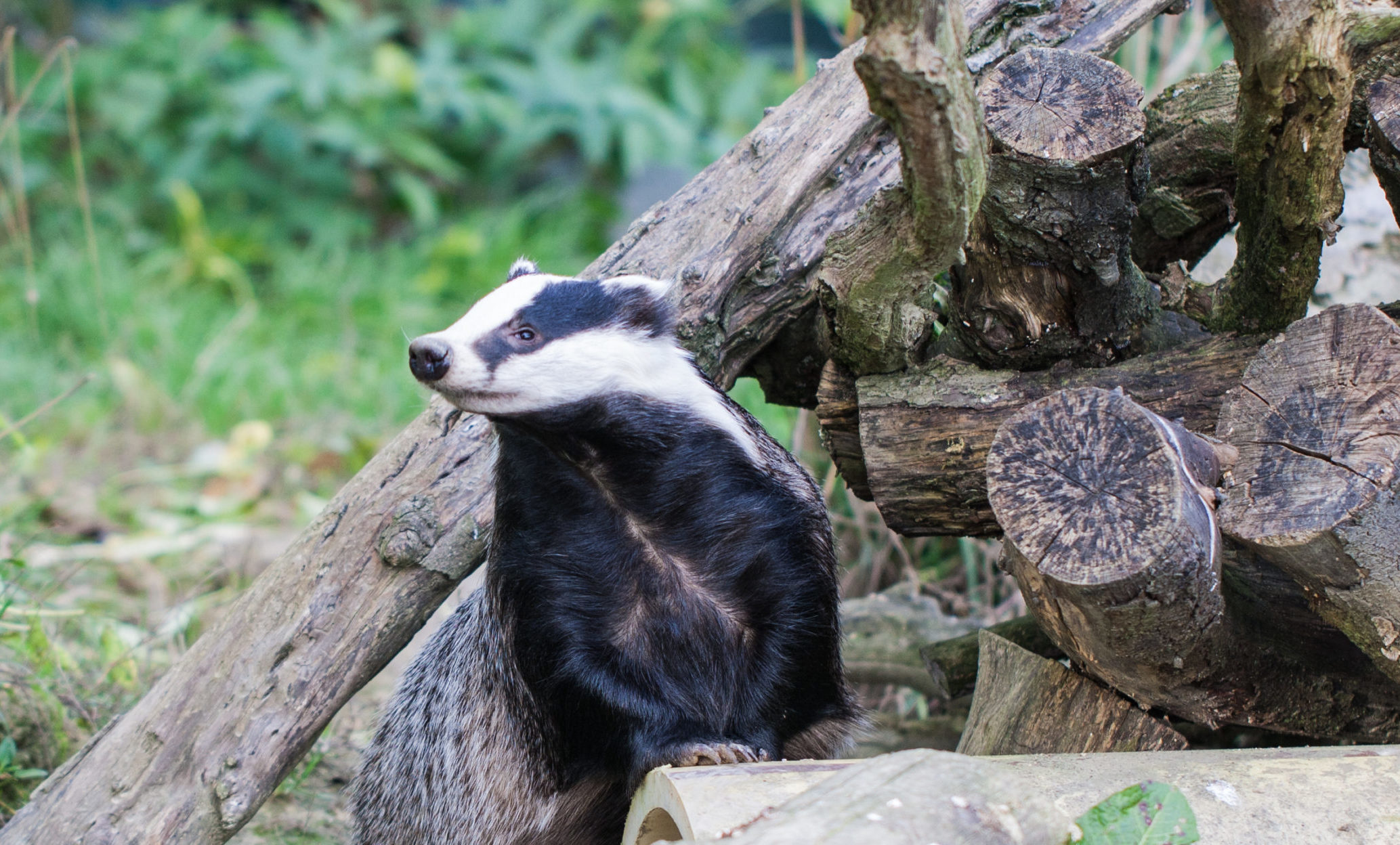 Badger by logs - Bovine TB