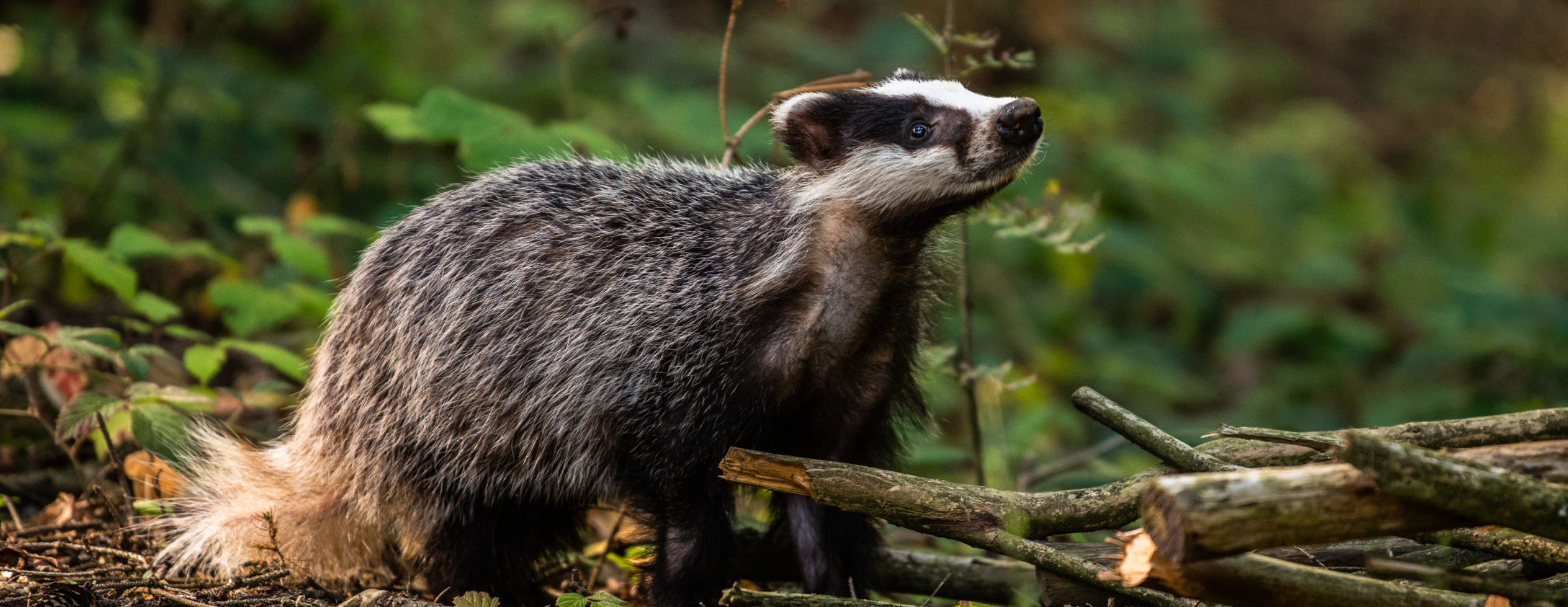 Badger in the woods - Bovine TB