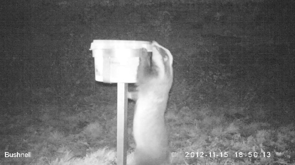 Badger on CCTV in the night - Bovine TB