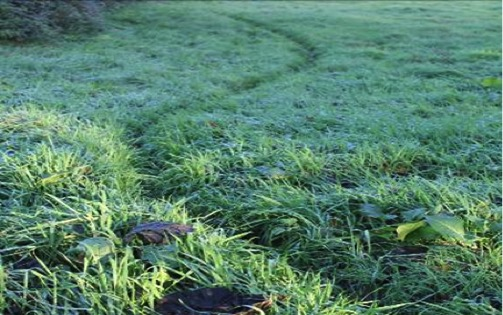 Badger runs and prints in the grass - Bovine TB