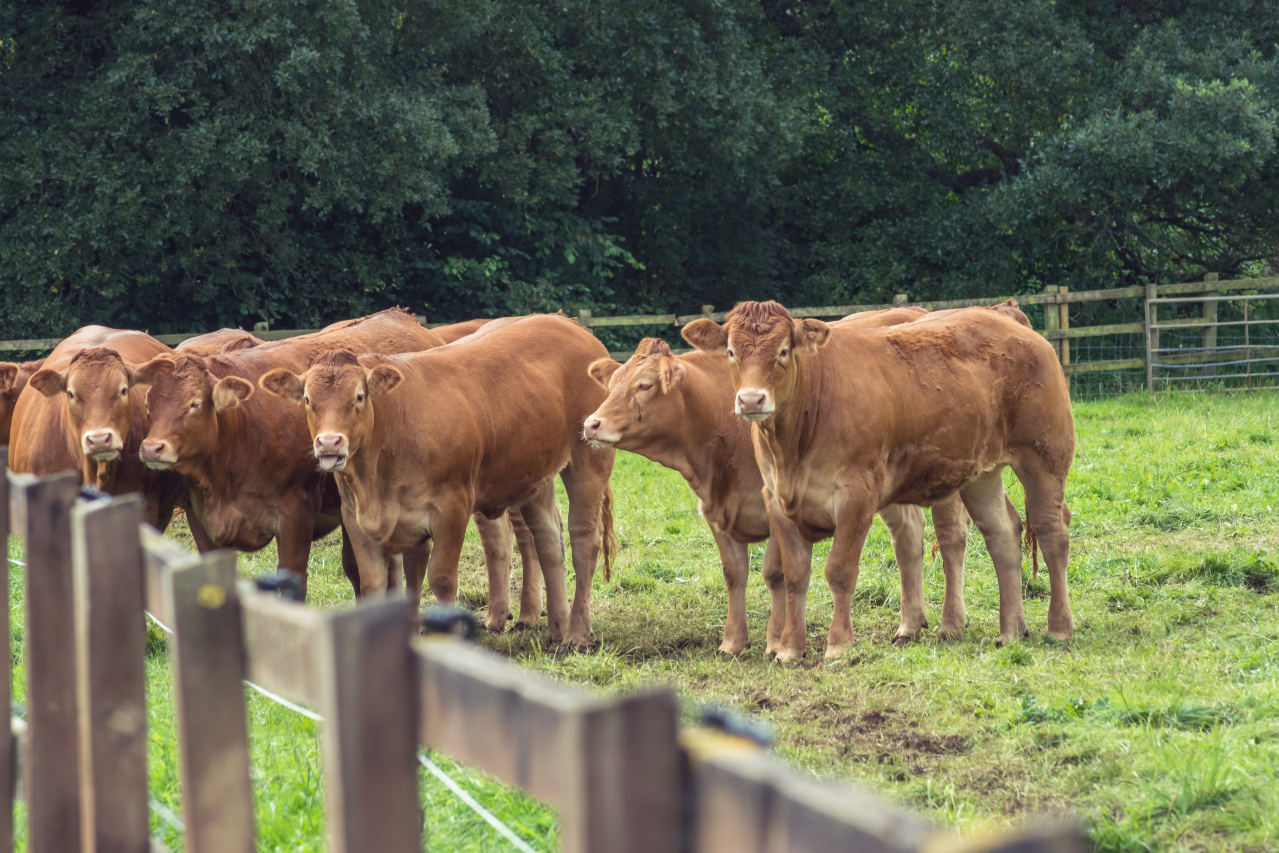 Brown cows in the field - TB Hub