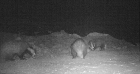 CCTV of multiple badgers eating feed during the night - Bovine TB