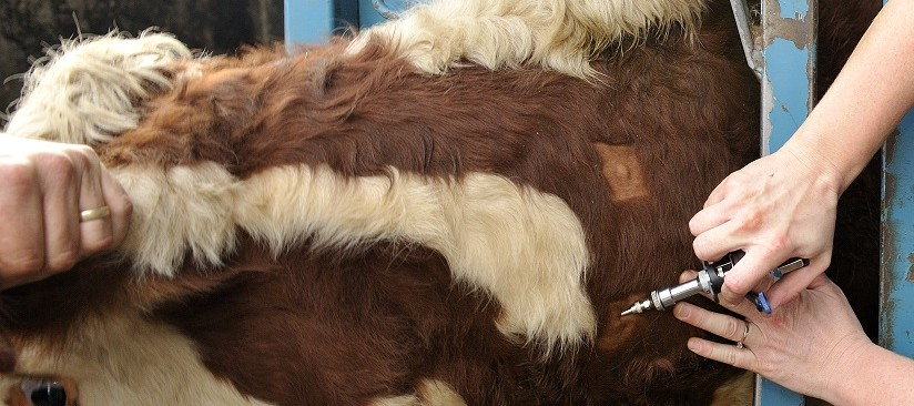 Close up of vet administering Bovine Tuberculin to a cow - TB hub