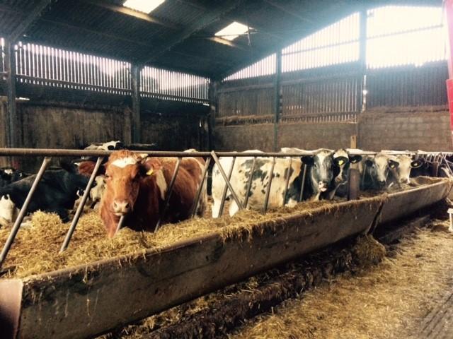 Cows in barn - TB hub