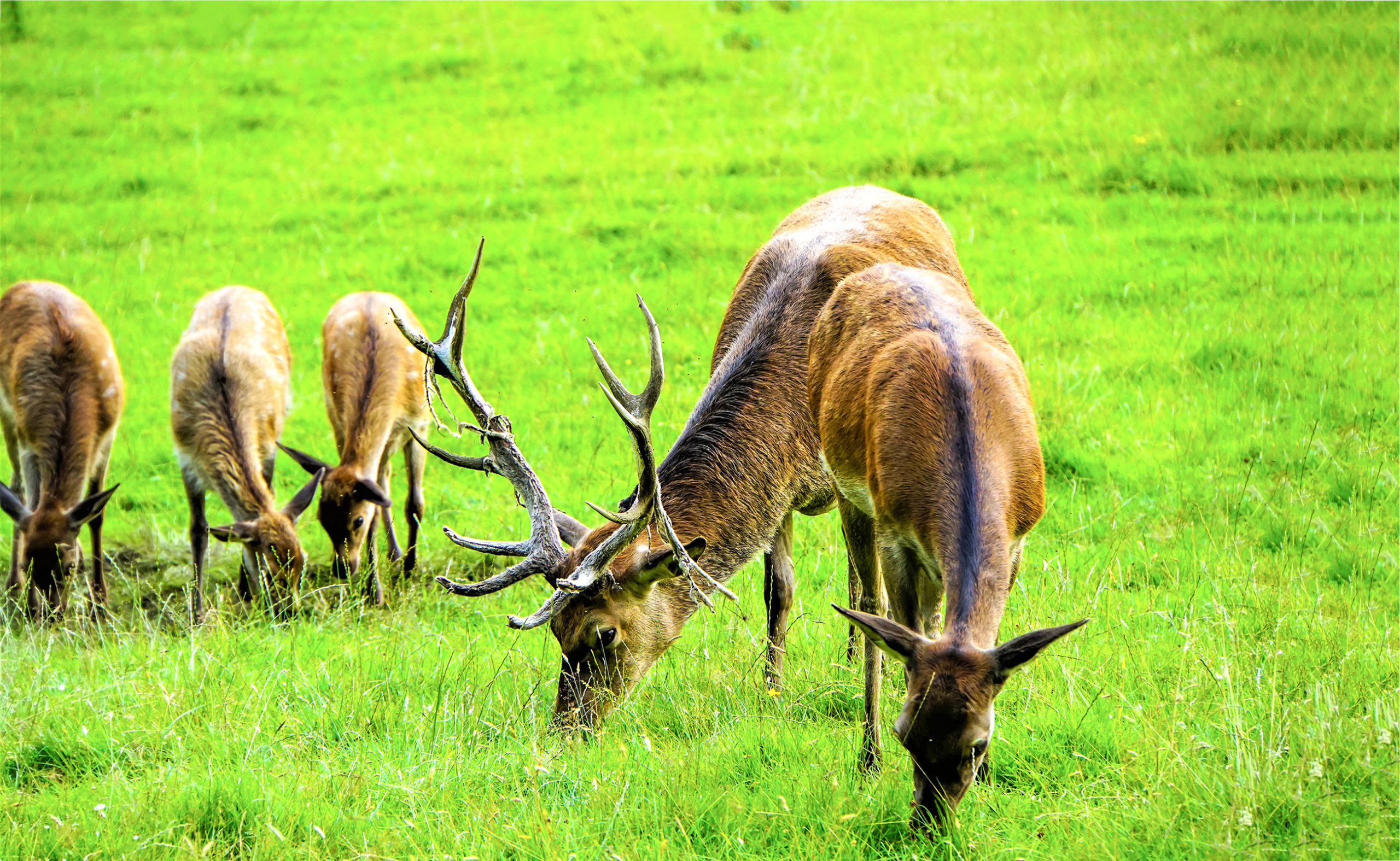 Deer in a field - TB Hub