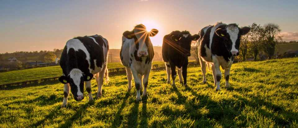 Heifers at sunset - Bovine TB
