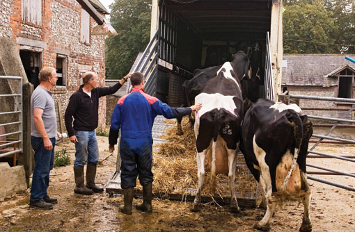 Loading cows on to a transporter - TB hub