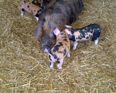 Pigs and piglets in a pen - TB Hub