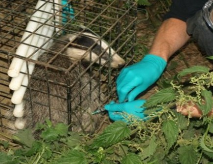 Vet vaccinating badger - Bovine TB