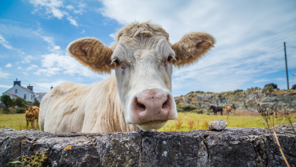 White cow - Bovine TB