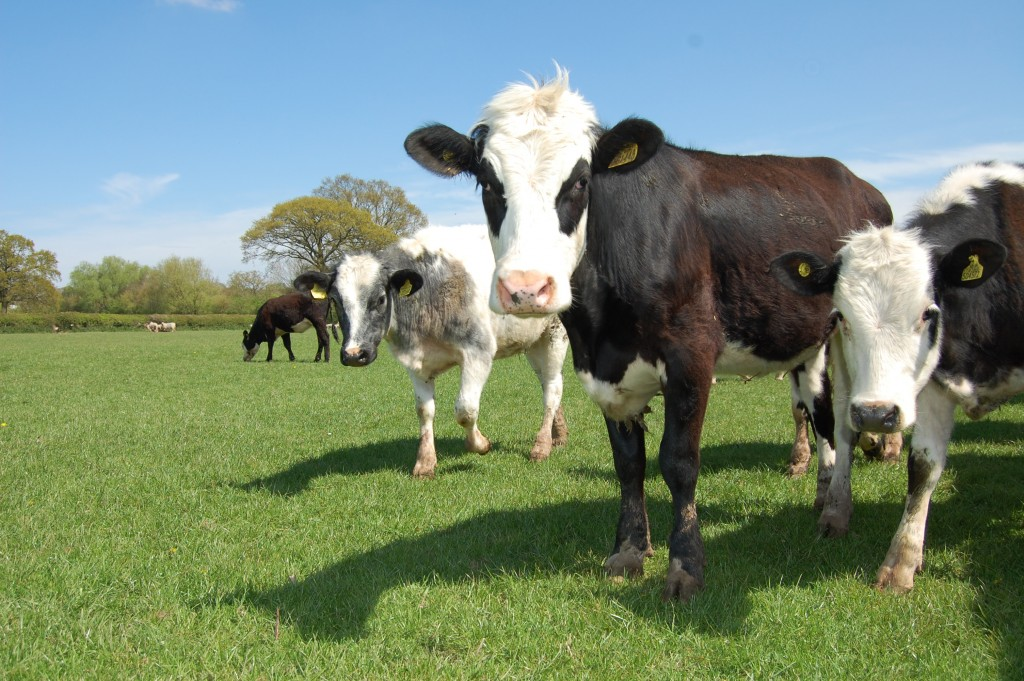 Young cows grazing - Bovine TB