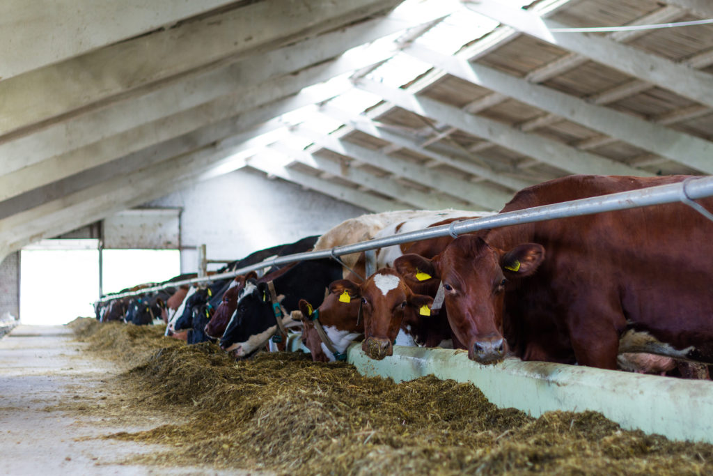Cows in a shed - Bovine TB