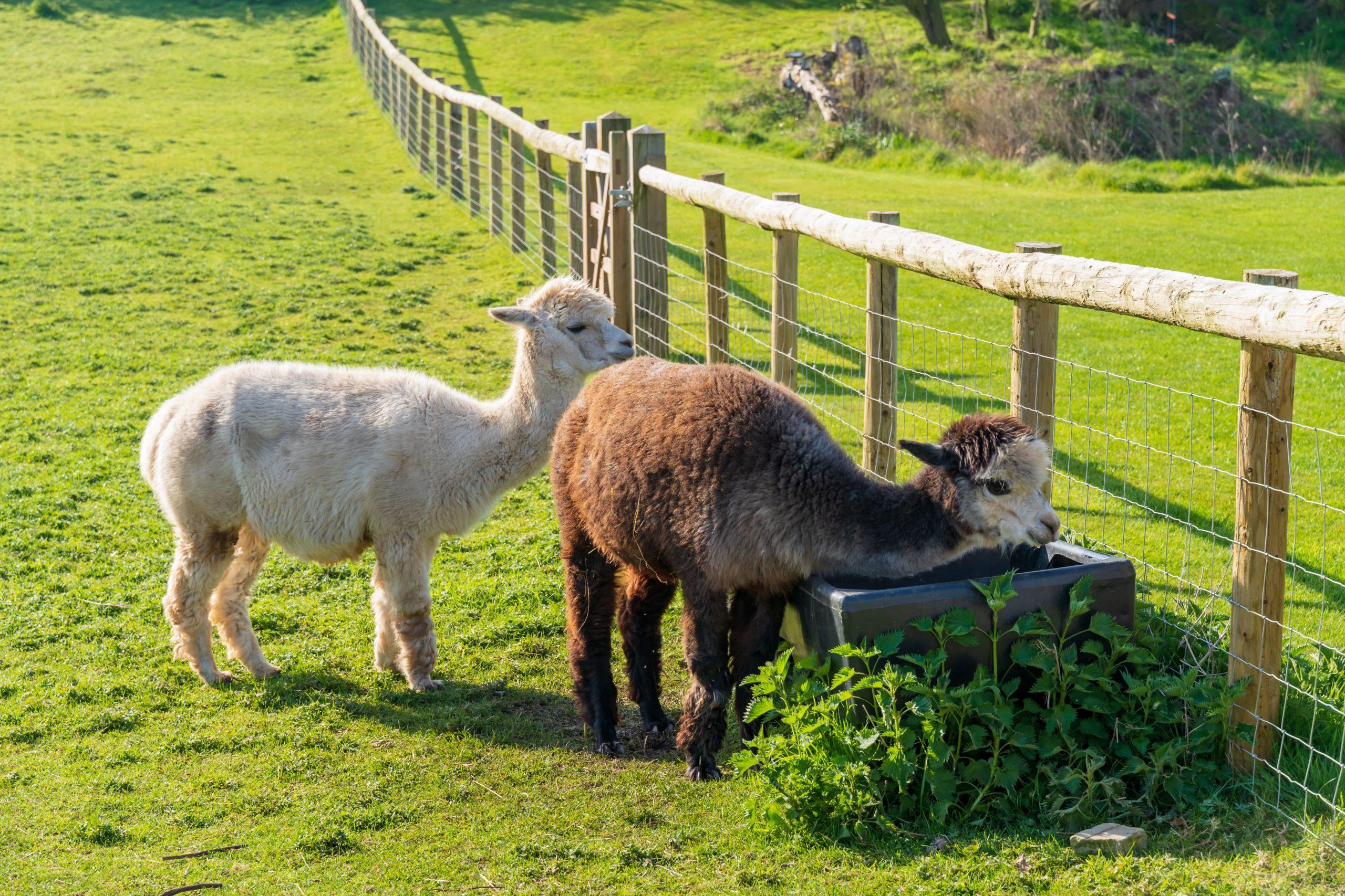 Alpacas grazing - Bovine TB