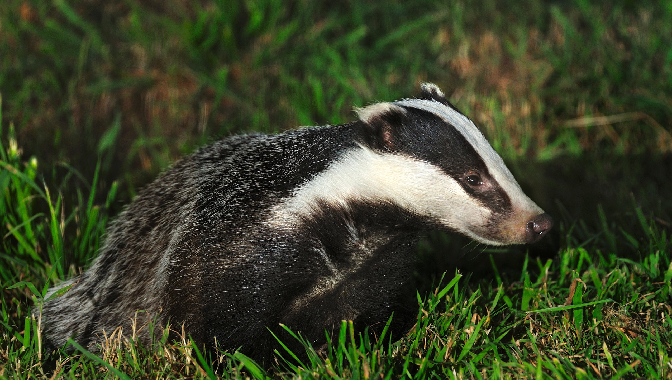 Badger at dusk - Bovine TB