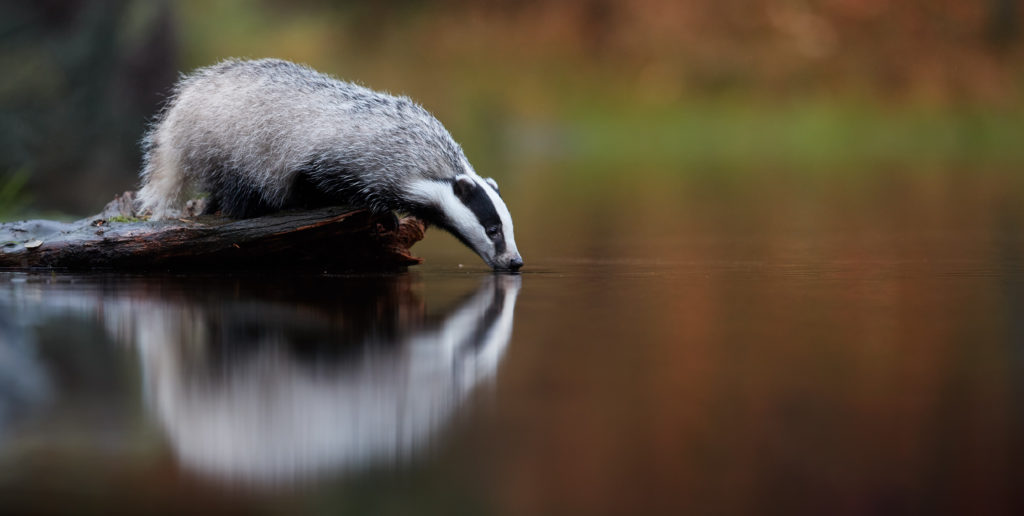 Badger drinking water - Bovine TB
