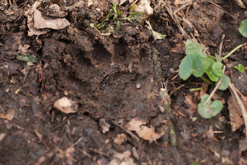 Badger print in the woods - Bovine TB