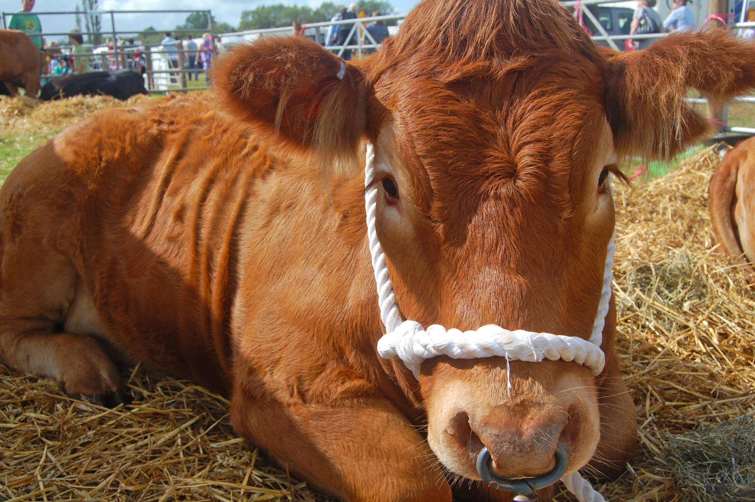 Bull lying down at country show - TB Hub