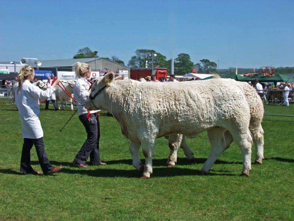 Bulls at country show - TB Hub