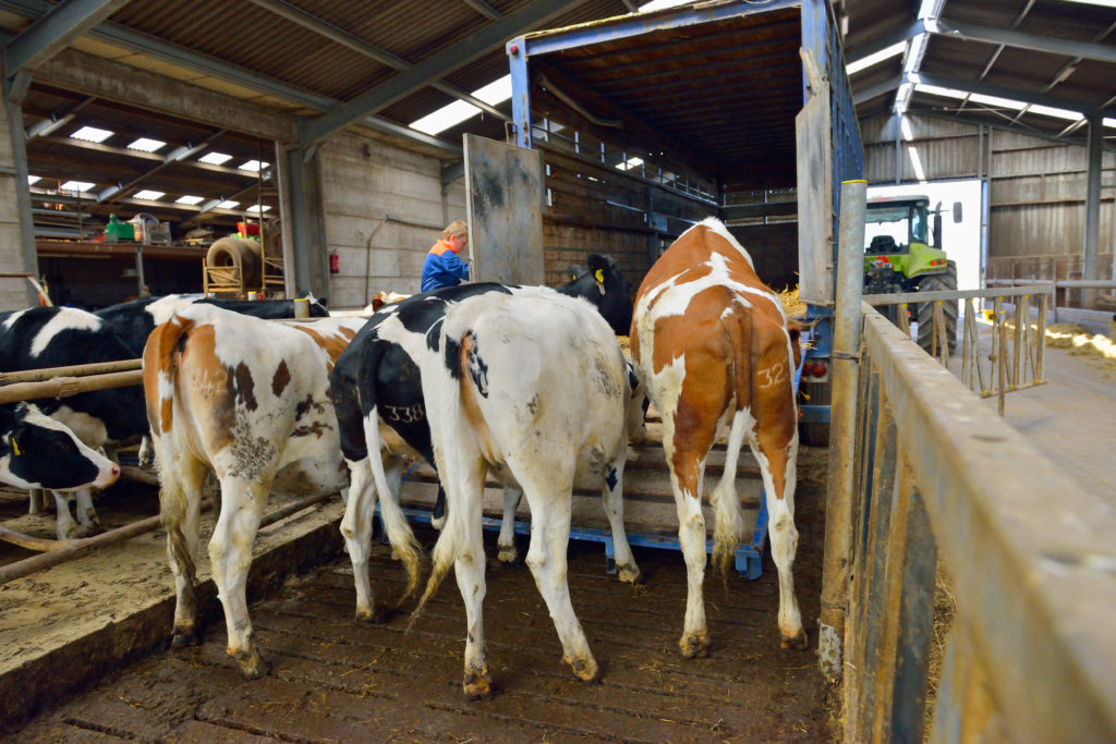 Cows being loaded to a trailer - Bovine TB