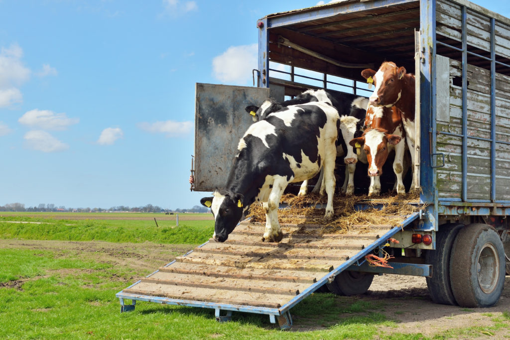 Cows being unloaded - Bovine TB