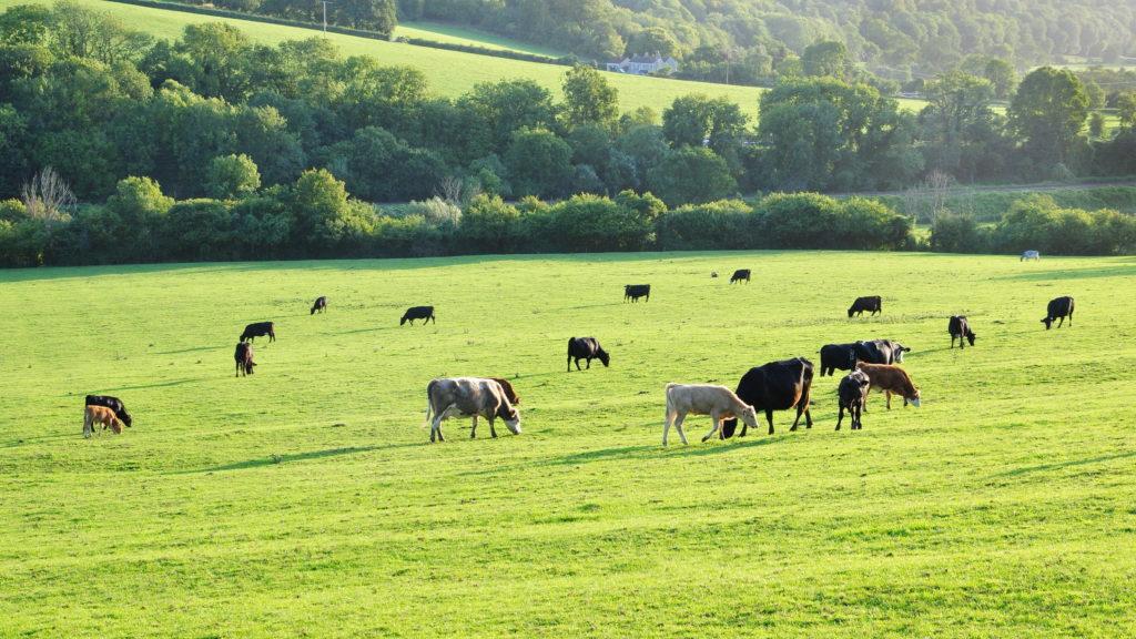 Cows grazing - Bovine TB