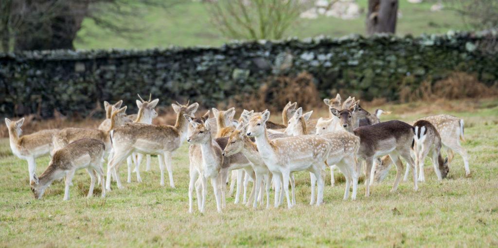 Deer grazing - Bovine TB