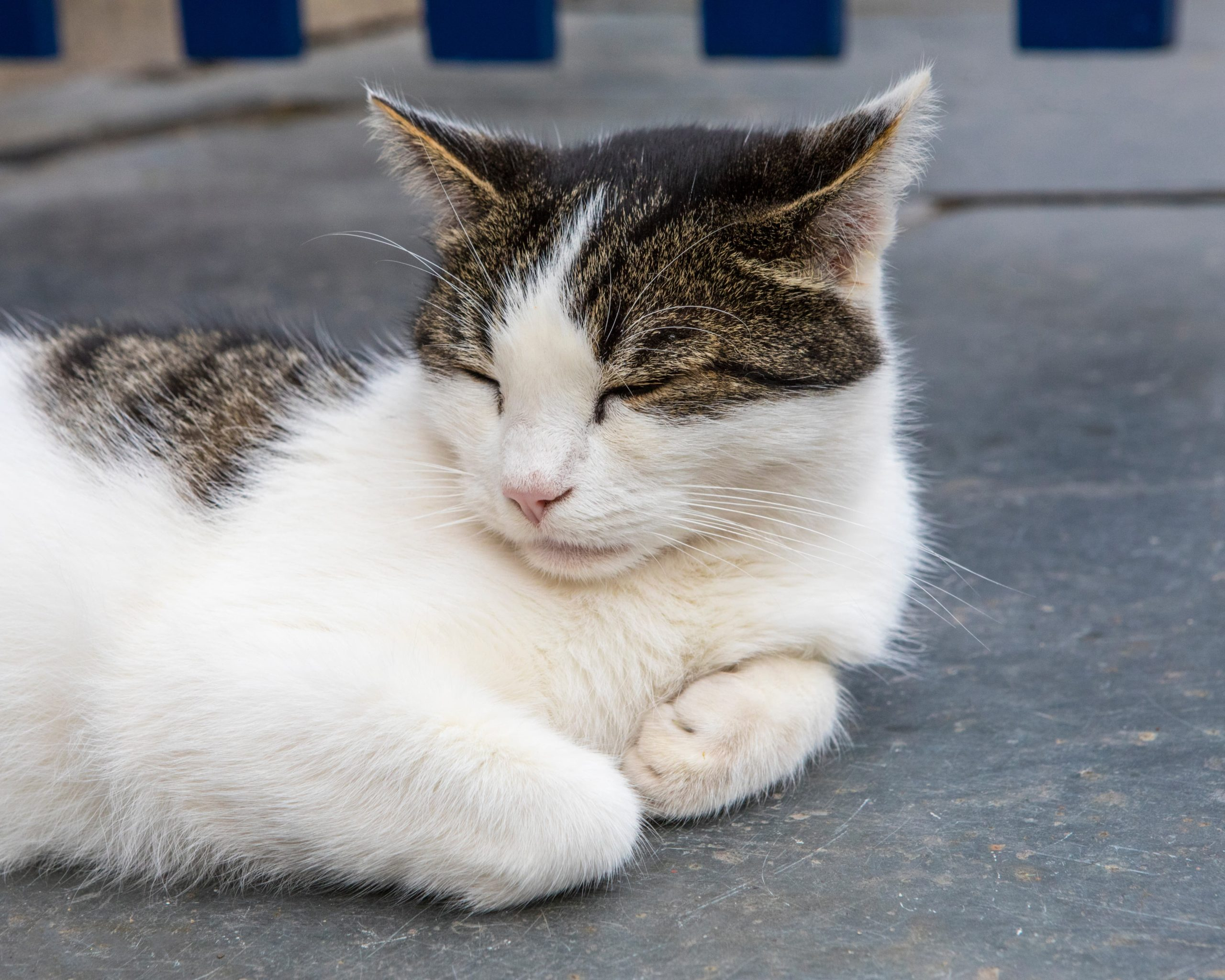 Domestic cat sleeping - Bovine TB