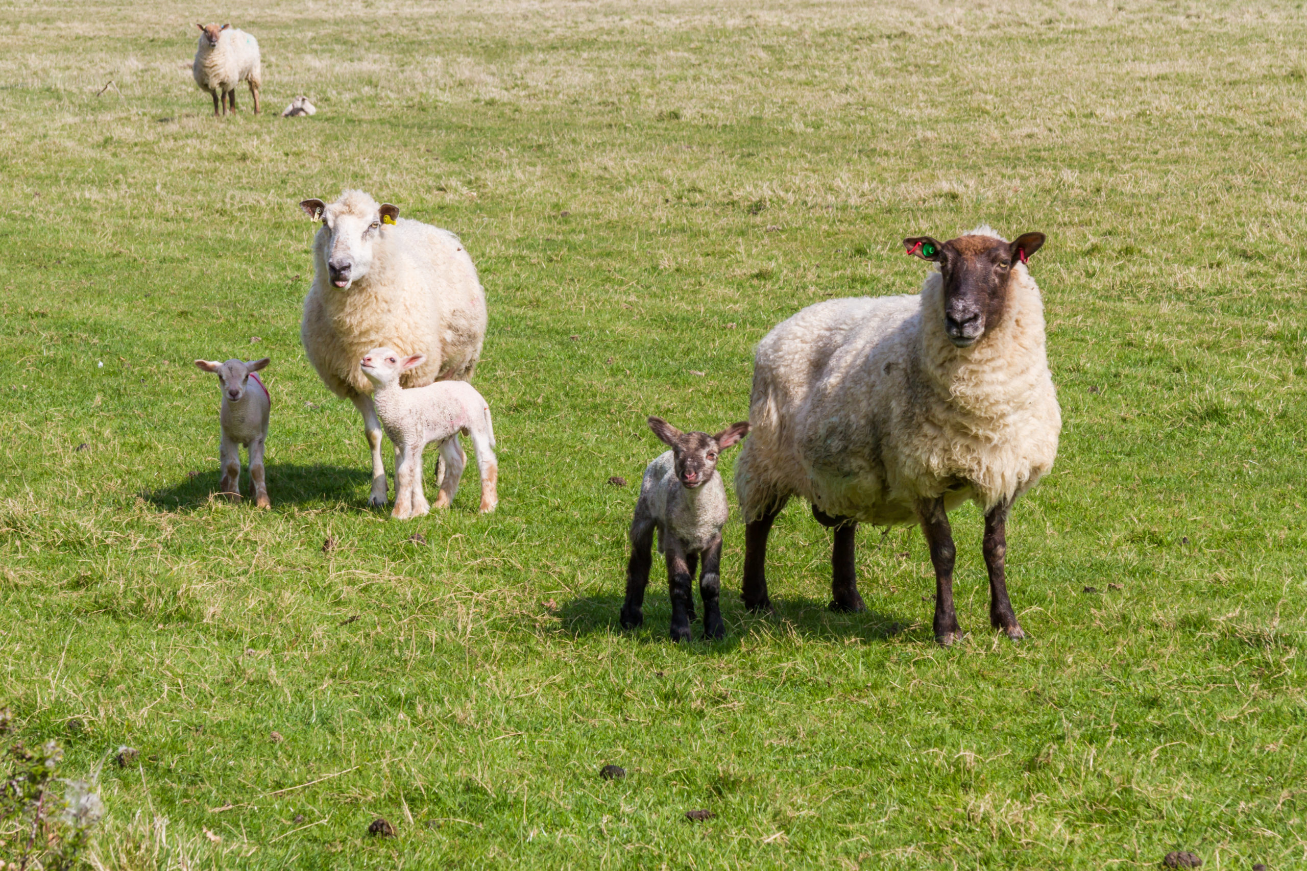 Ewe and lambs - Bovine TB