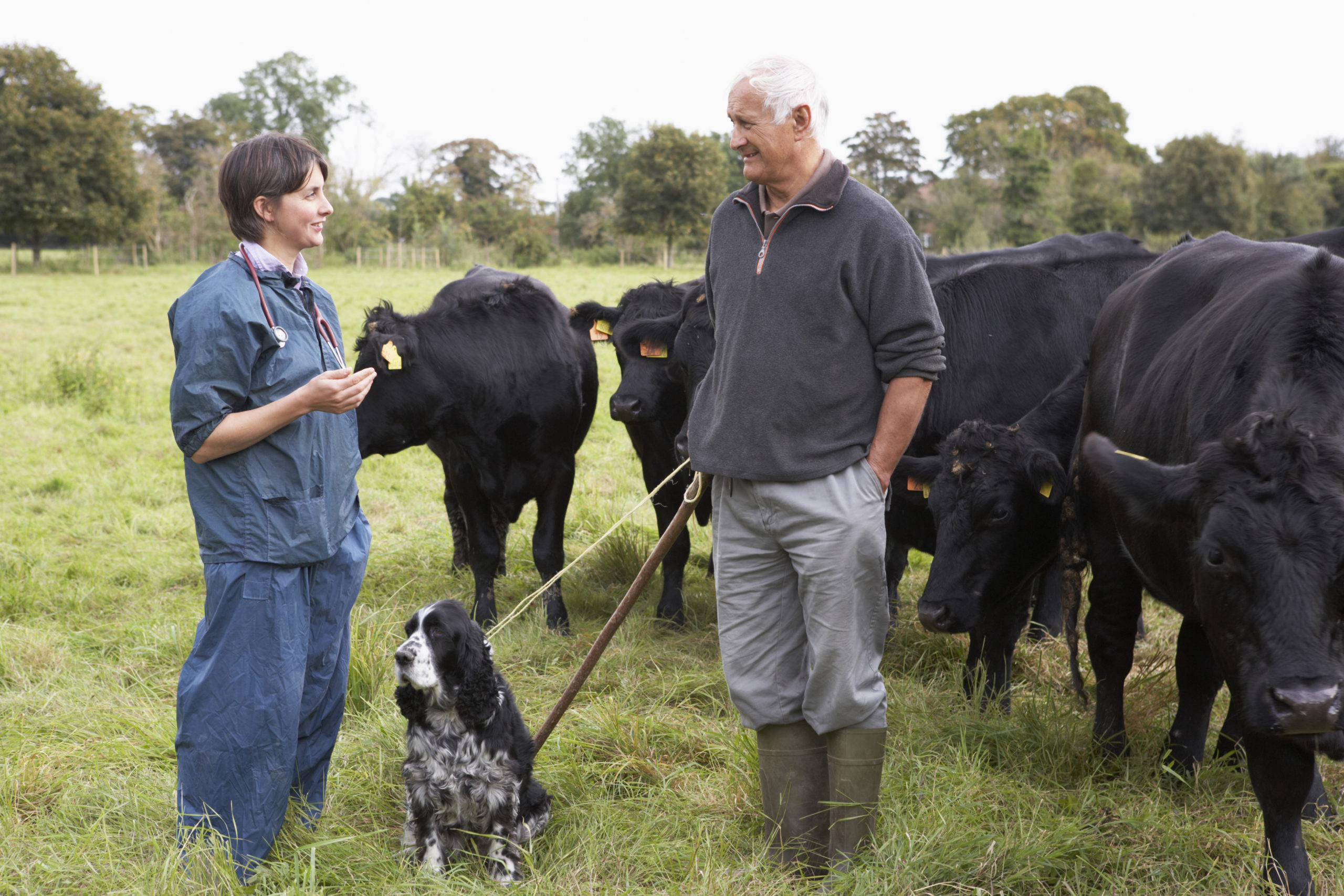 Vet and farmer in a field with cows and dogs - Bovine TB