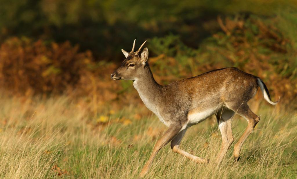 Wild Fallow Deer - Bovine TB