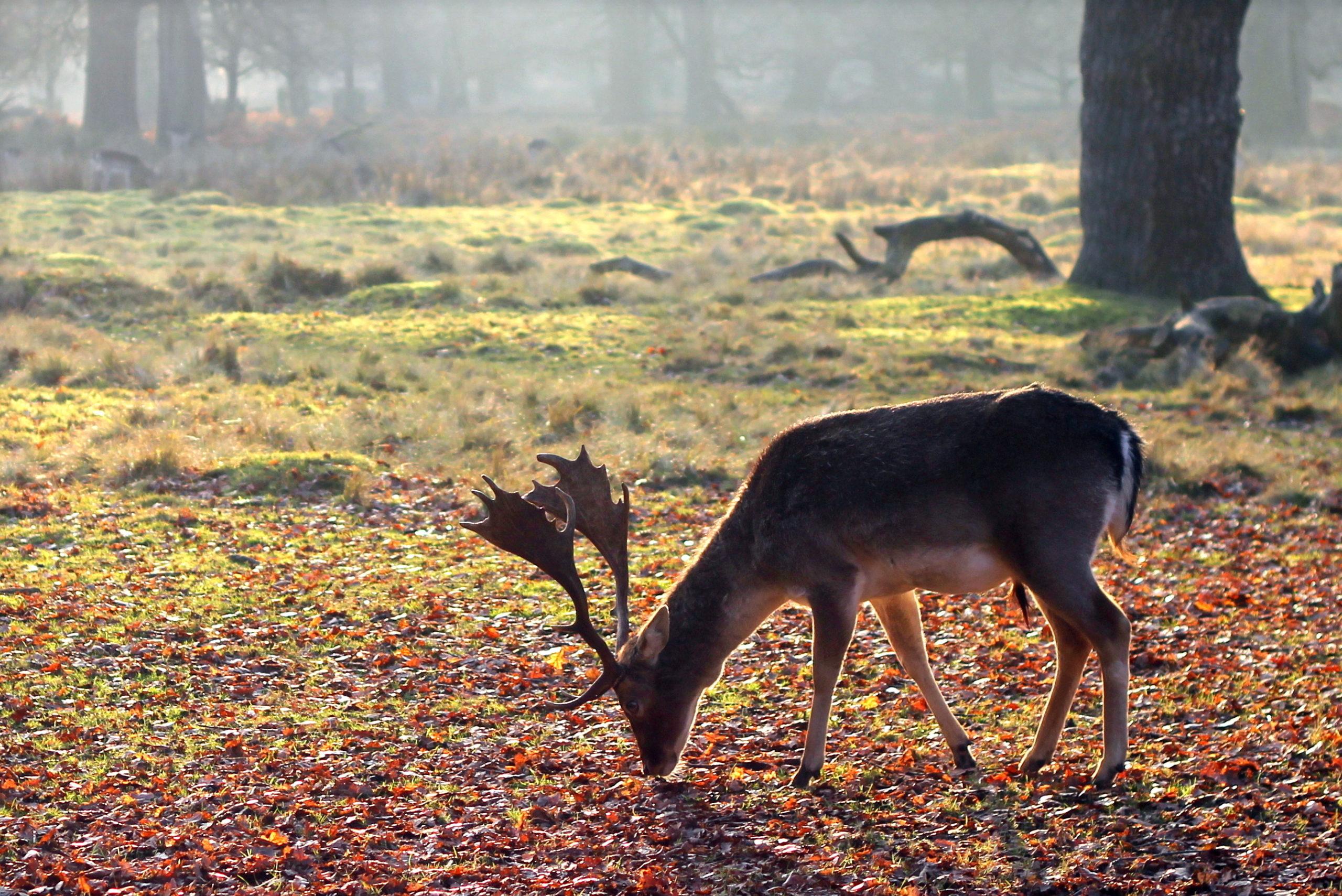 Wild deer - Bovine TB