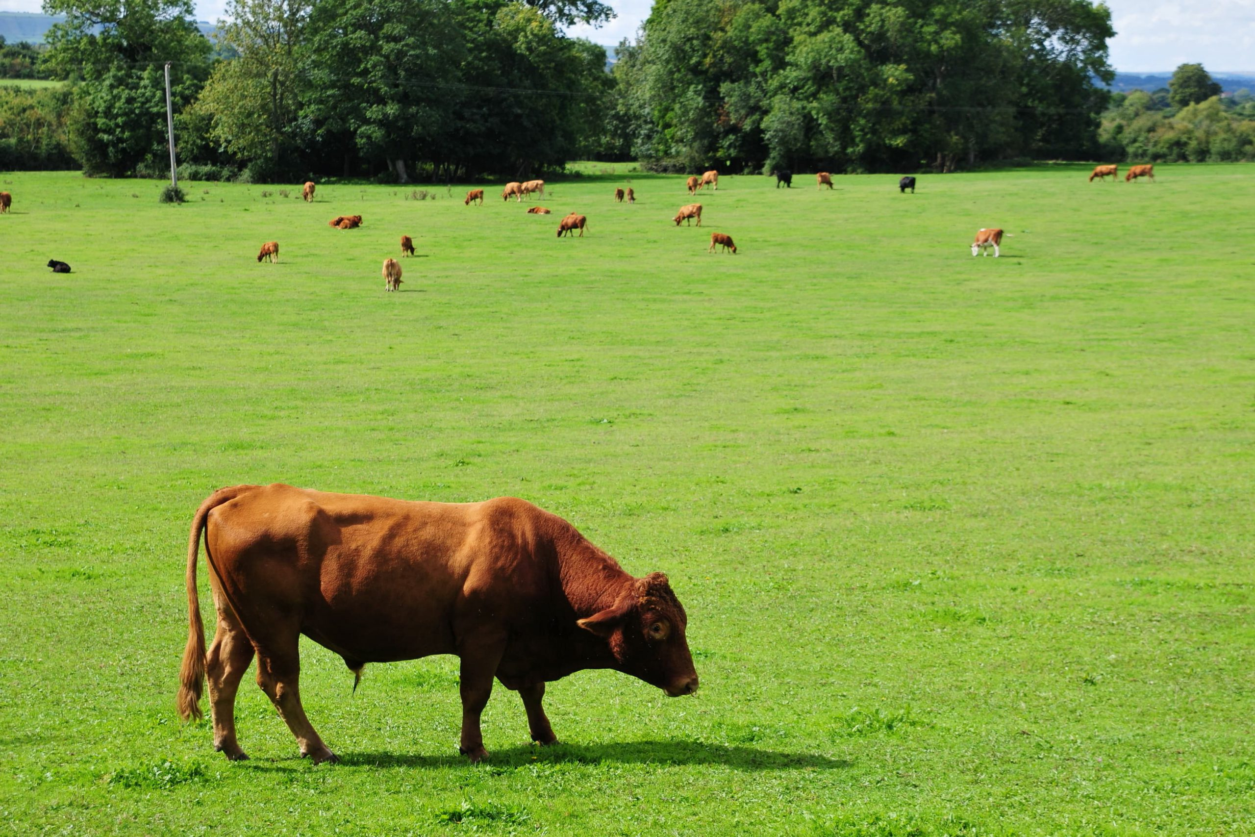Brown cows grazing - Bovine TB