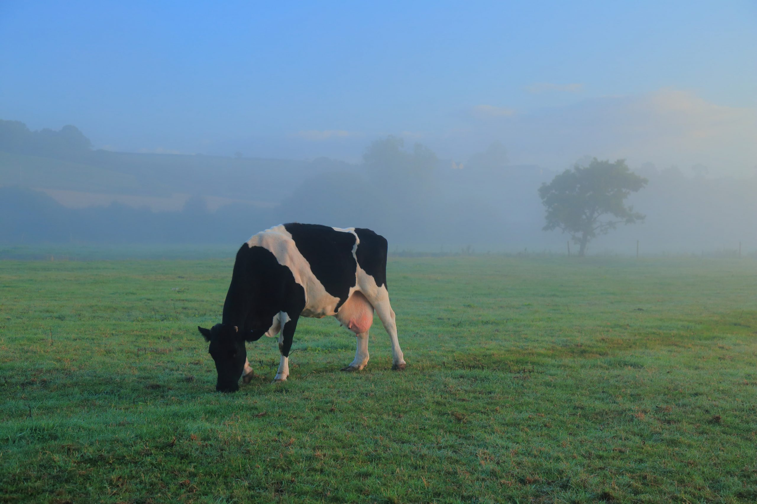 Cow in a misty field - Bovine TB
