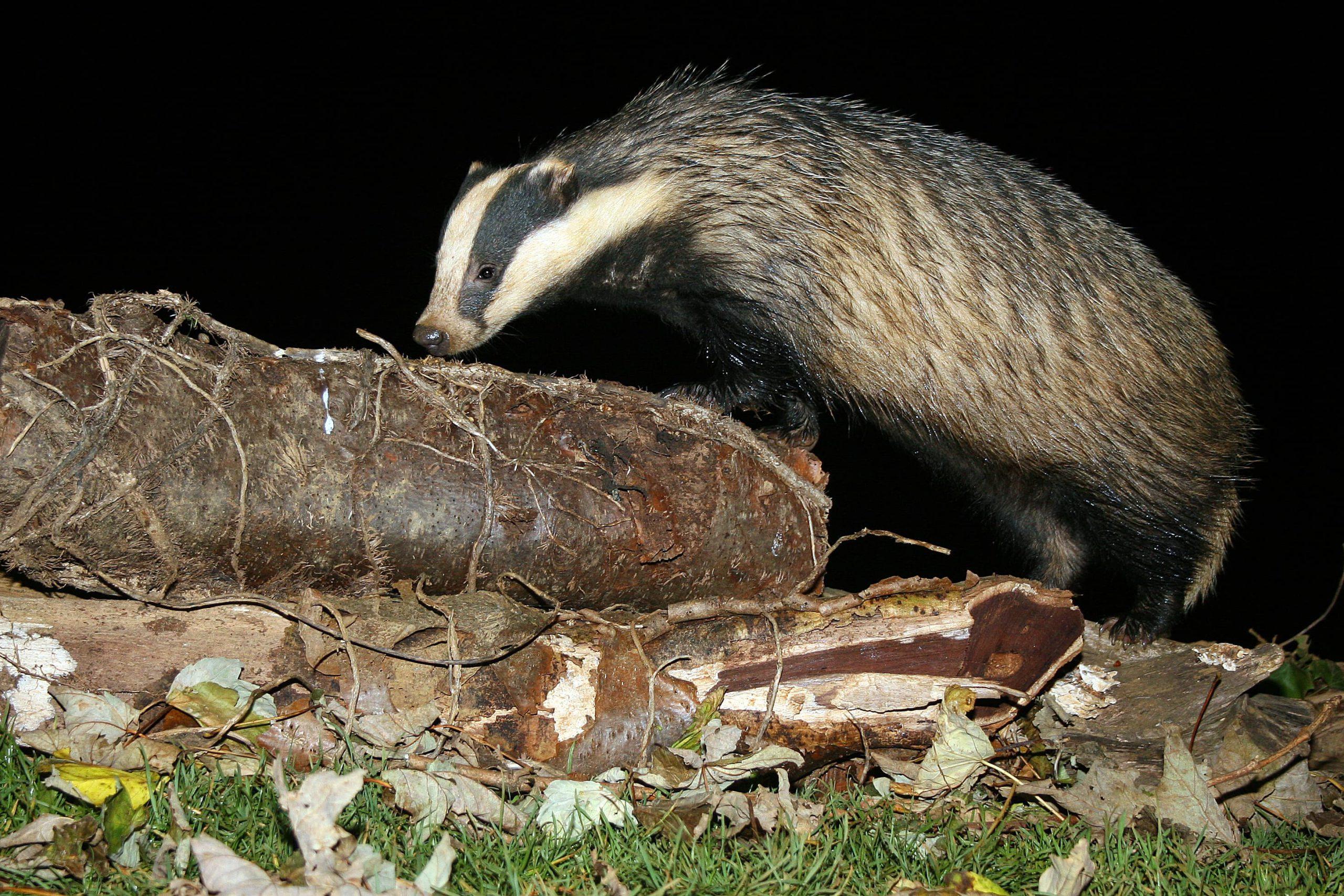 European badger at night - Bovine TB