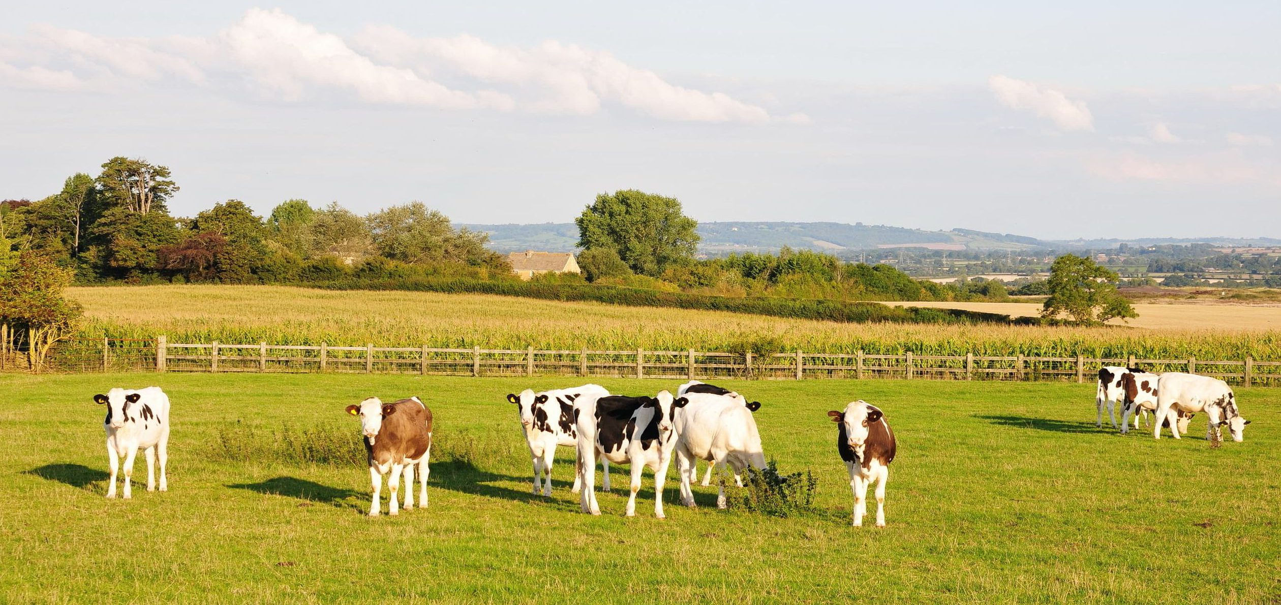 Young cows in a field - Bovine TB